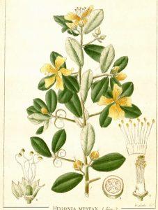 Hugoniaceae