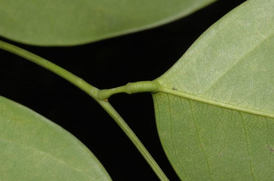 Lepidobotryaceae