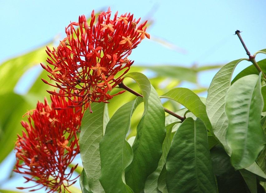 Rubiaceae