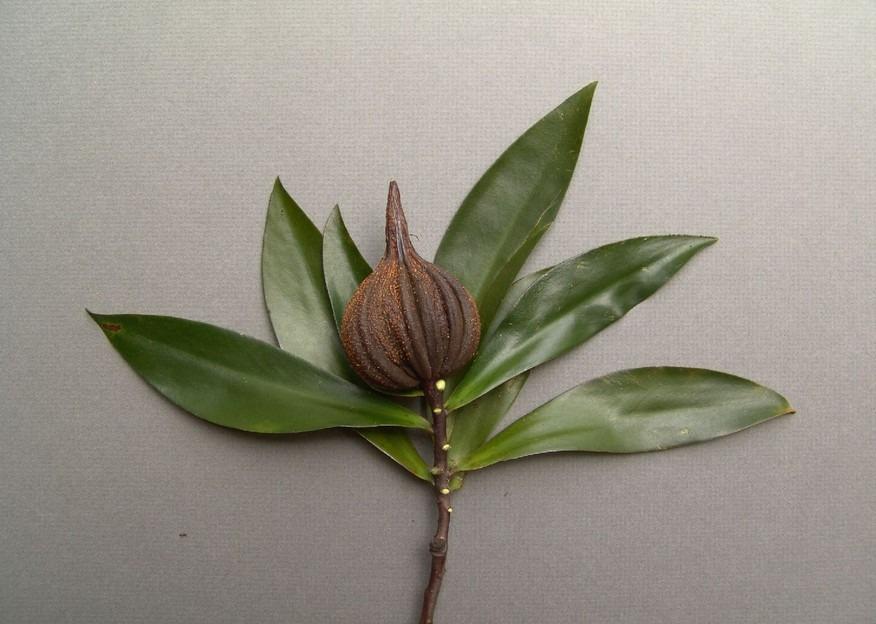 Tetrameristaceae