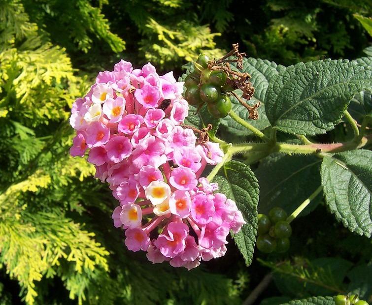 Verbenaceae