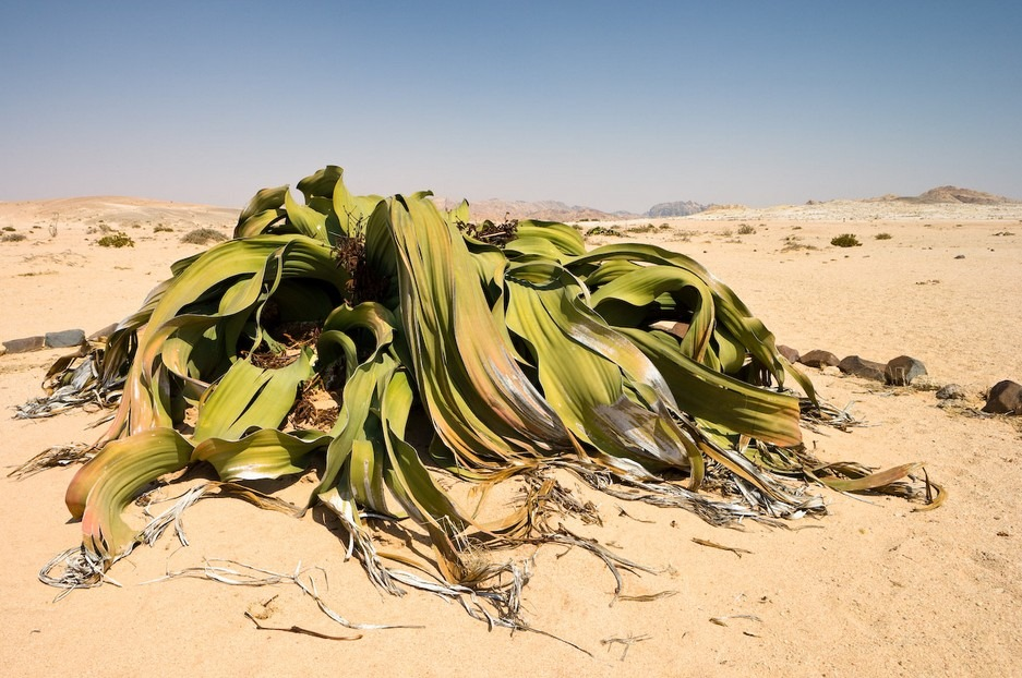 Welwitschiaceae