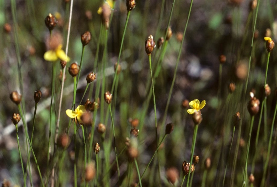 Xyridaceae