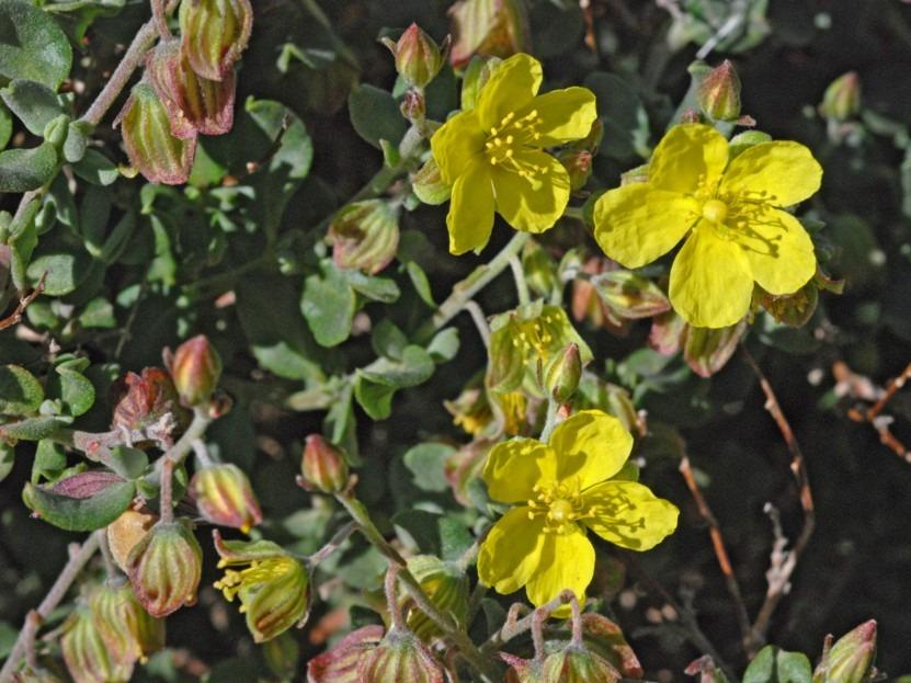cistaceae