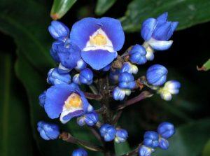 commelinaceae