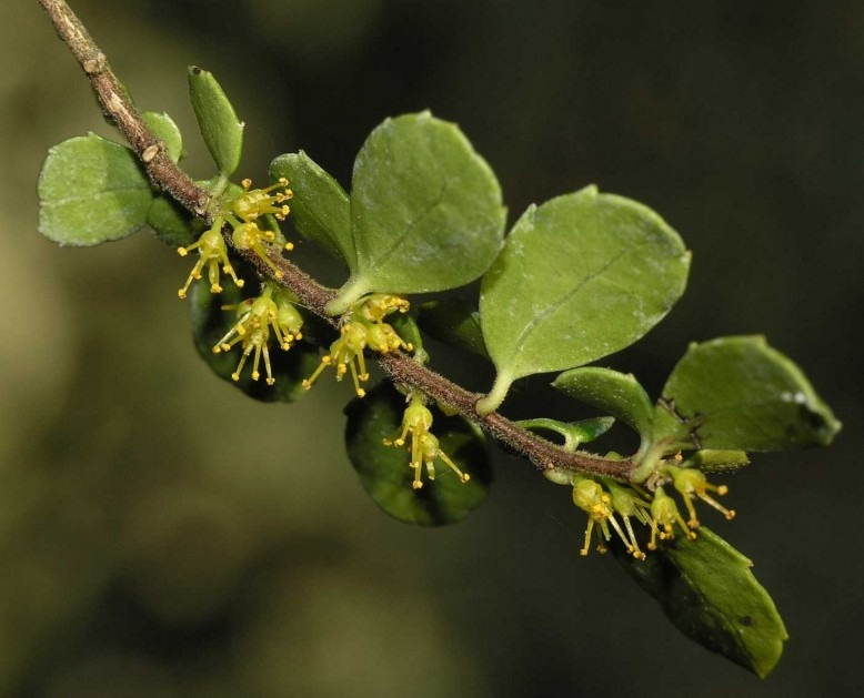 flacourtiaceae