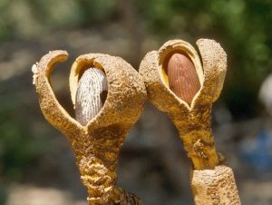 hydnoraceae