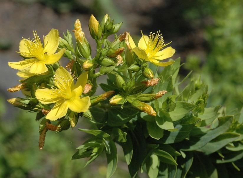 hypericaceae