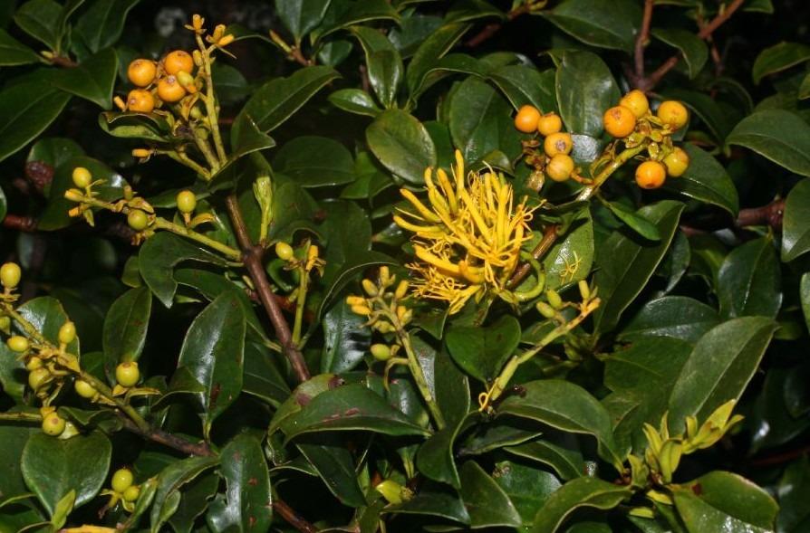 loranthaceae