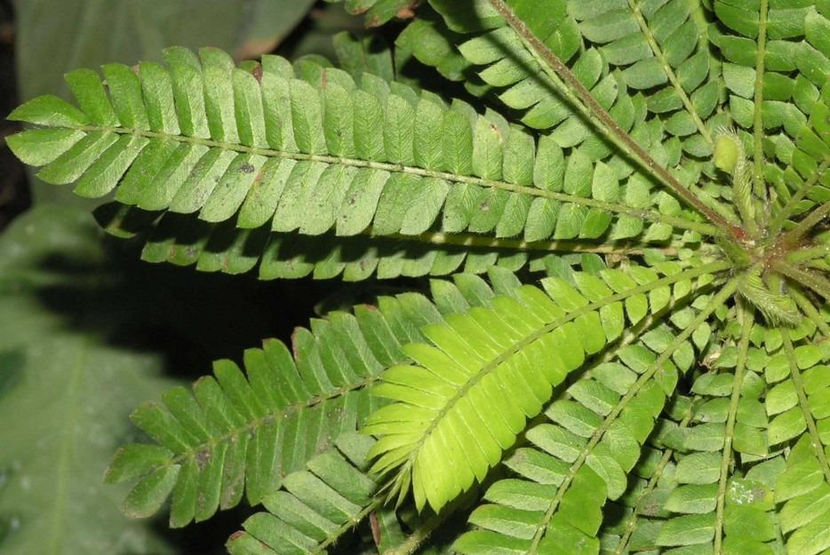 oxalidaceae