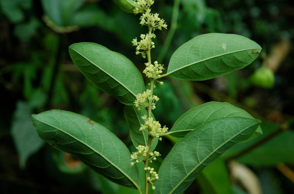 phyllanthaceae