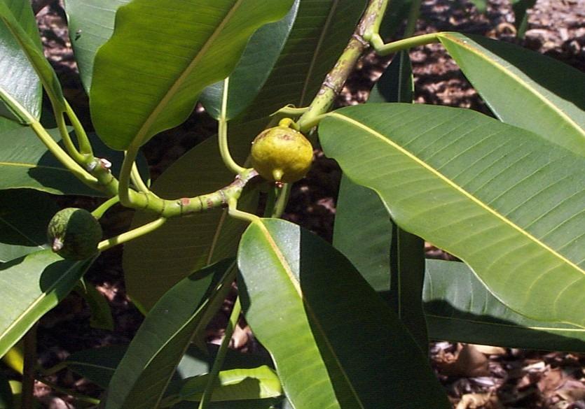 quiinaceae