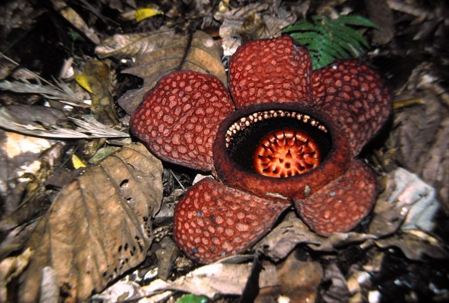 rafflesiaceae