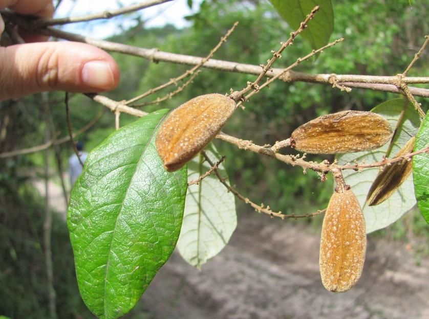 trigoniaceae