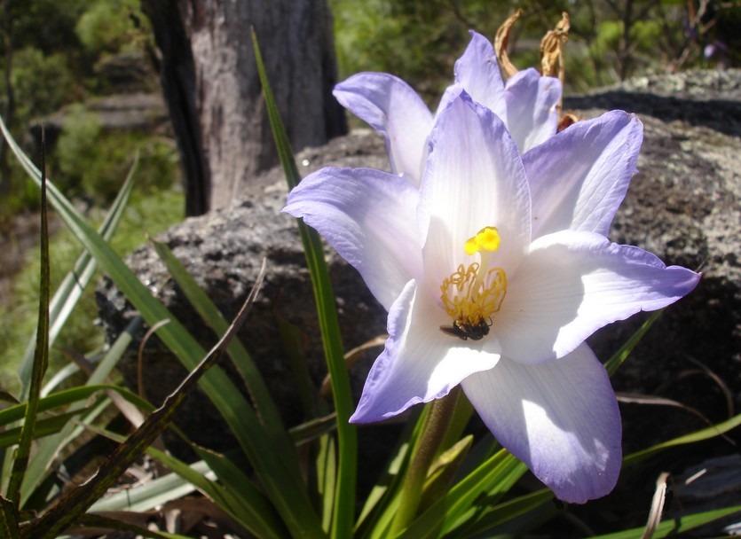 velloziaceae
