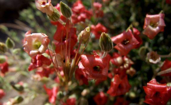 Vivianiaceae
