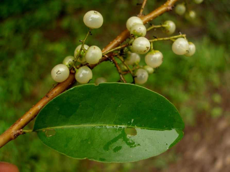 Achatocarpaceae