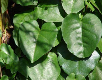plantas alimenticias nao convencionais PANCs